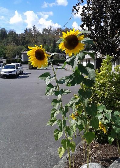 sunflowers-393x550