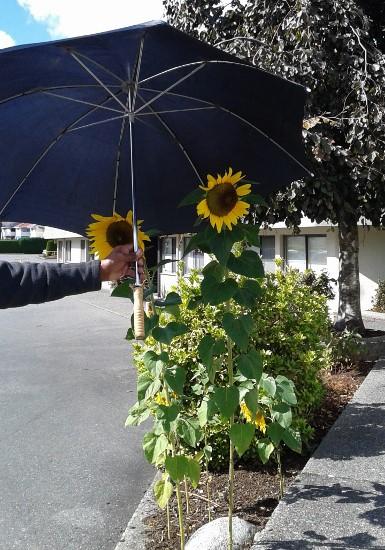 sunflowers-with-umbrella-385x550