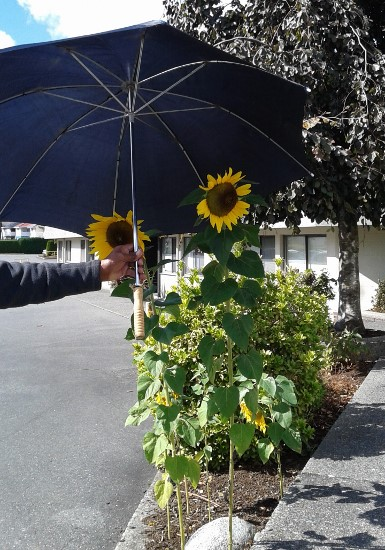 sunflowers-with-umbrella-385x550