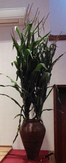 thanksgiving-corn-stalks-225x550